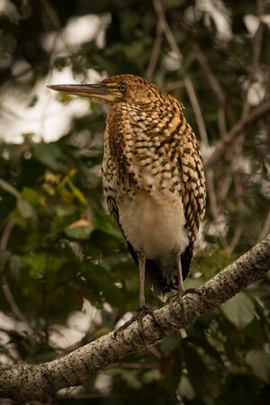 lineatum: Rufescent tiger heron on branch in profile Stock Photo