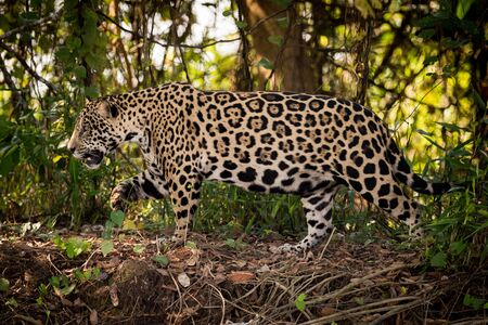 Jaguar walks right to left through undergrowth Stock Photo