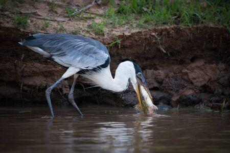 gray herons: Cocoi heron catching fish in muddy shallows Stock Photo