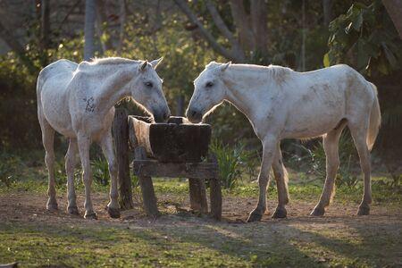 Deux chevaux rétroéclairés potable de bac à eau Banque d'images