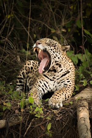 widely: Jaguar lying beside dead log yawns widely Stock Photo