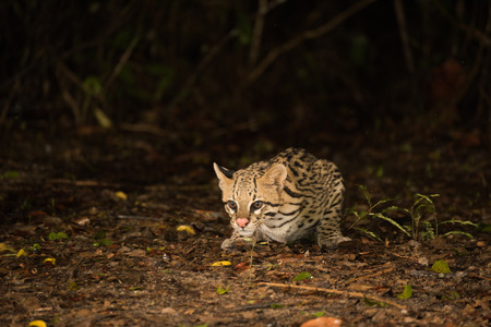 crouching: Ocelot crouching at night looking for food