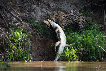 Jaguar pulling yacare caiman out of river