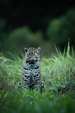 Jaguar sitting in tall grass facing right