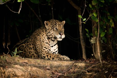 Jaguar lying on earth bank in trees Stock Photo