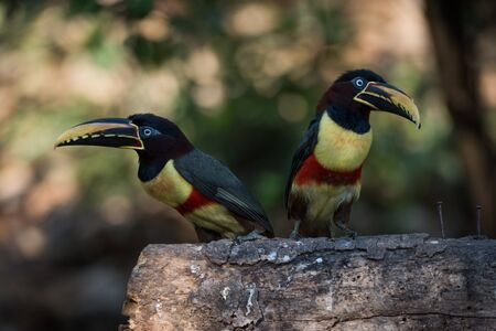 Two chestnut-eared aracaris on log in shade Banque d'images