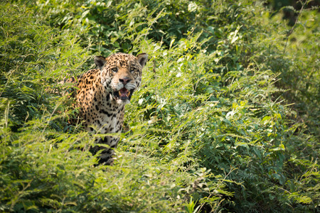 Jaguar staring at camera from leafy bushes