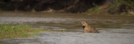 Panorama of jaguar in shallows facing camera