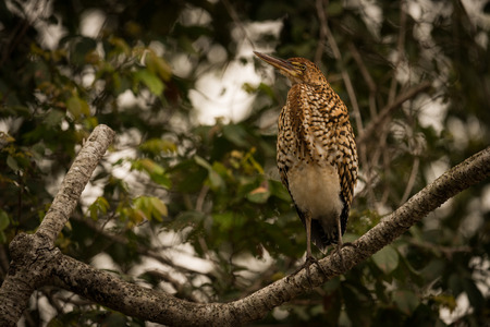lineatum: Rufescent tiger heron on branch looking up