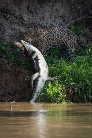 Jaguar pulling yacare caiman out of water Stock Photo