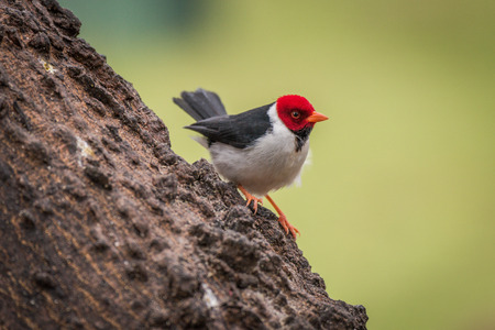 facing right: Yellow-billed cardinal on tree trunk facing right
