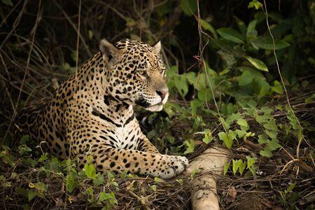 maleza: Jaguar tumbado en registro en densa maleza Foto de archivo