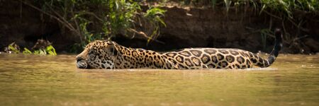 Jaguar wading through muddy river beside bank