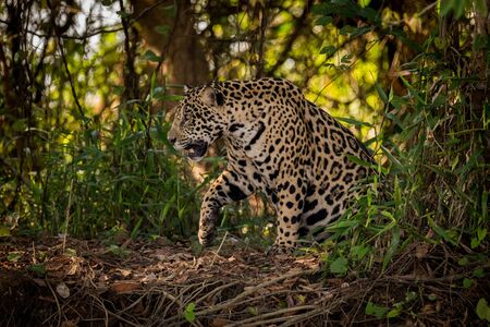 Jaguar gets up to walk through undergrowth