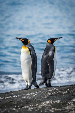 flightless: Two king penguins facing in opposite directions