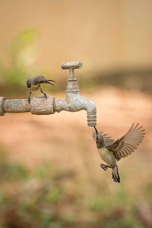 Two female purple sunbirds around outdoor tap