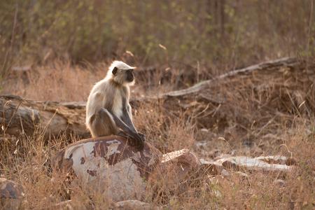 semnopithecus: Hanuman langur sitting on rock in sunshine Stock Photo