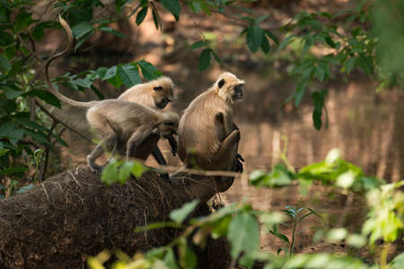 semnopithecus: Three sunlit langurs perch by tree-lined river Stock Photo