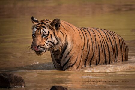muddy: Bengal tiger wades through muddy water hole