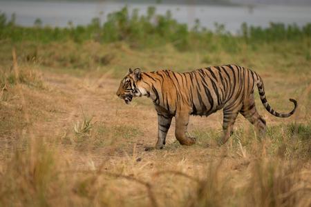 Bengal tiger walks on bank of lake
