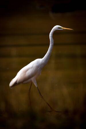Intermediate egret striding through lake in shadows