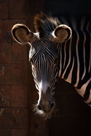 Close-up of Grevy zebra head in sunshine Stock Photo