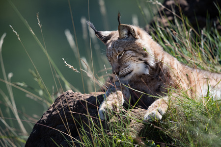 Lynx lying on grassy rock looking down Banco de Imagens