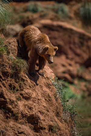 Brown bear at top of steep rock