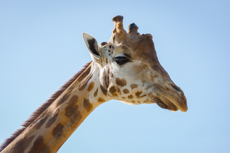 Close-up of head of giraffe looking down Stock Photo