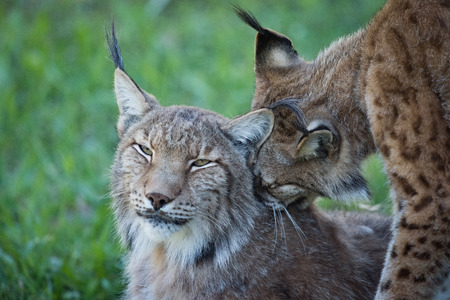 Close-up of lynx nibbling another in shadows