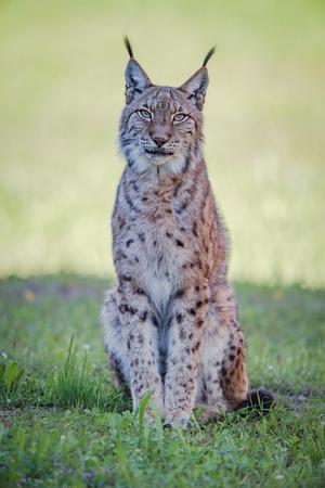 カメラ目線の芝生の上に座っている lynx 写真素材
