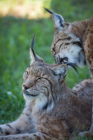 cat grooming: Close-up of lynx nibbling mate in shadows