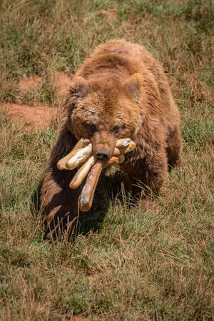 Brown bear walking with mouthful of baguettes