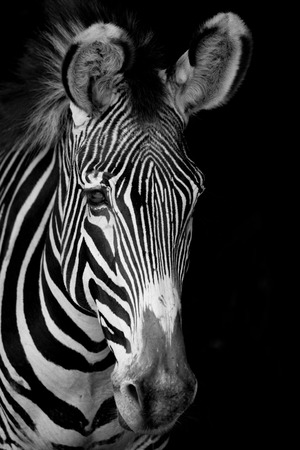 Mono close-up of Grevy zebra facing forward Stock Photo