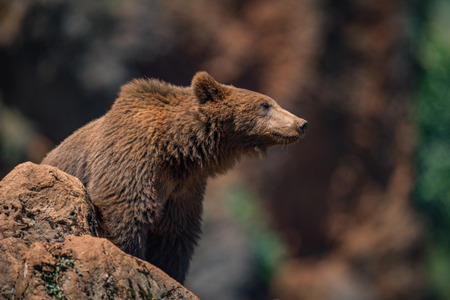Brown bear on rock with blurred background