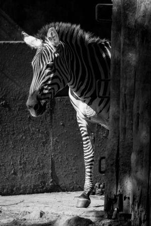 Mono Grevy zebra standing in sunny barn Stock Photo