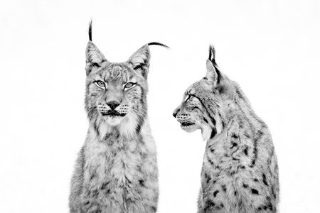 Close-up of lynx watching another from side