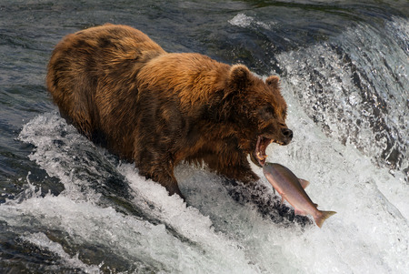A brown bear with shaggy, brown fur is about to catch a salmon in its mouth at the top of Brooks Falls, Alaska. The fish is only a few inches away from its gaping jaws. Shot with a Nikon D800 in Alaska, USA, in July 2015.