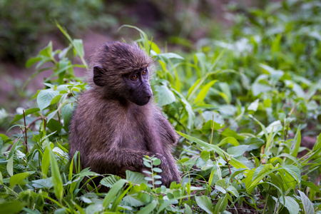 Baby olive baboon sitting among leafy plants