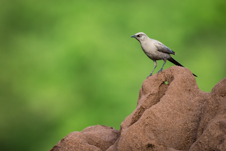Ashy starling on edge of termite mound