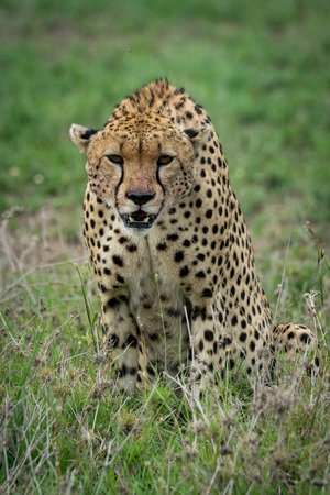 Cheetah sitting and leaning forwards on grassland