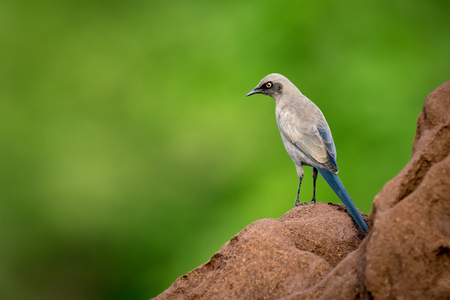 Ashy starling on side of termite mound