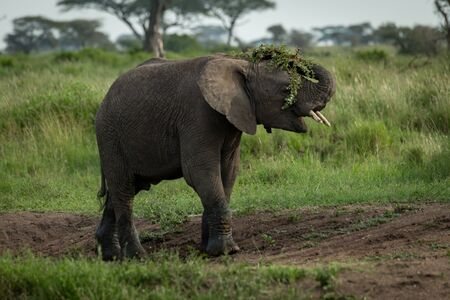 African elephant throwing branches over its head