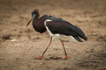 Abdim stork crosses mud with head down Stock Photo