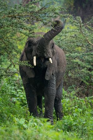 African elephant lifting trunk to browse acacia