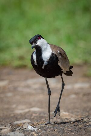 Blacksmith plover with cocked head lifting foot Stock Photo