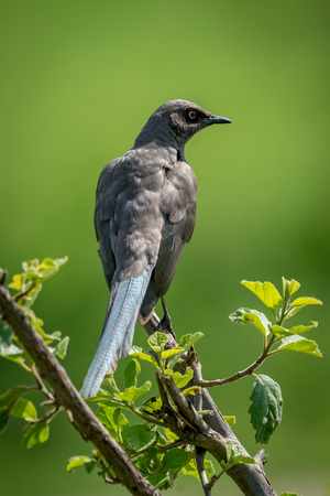 Ashy starling on branch with head turned Stock Photo
