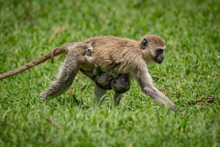 Baby vervet monkey clinging to walking mother Stock Photo