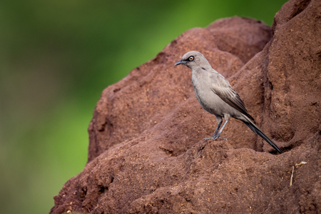Ashy starling perched on red termite mound Stock Photo