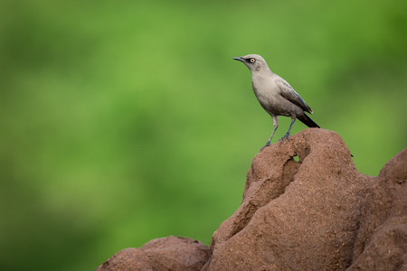 Ashy starling standing on red termite mound